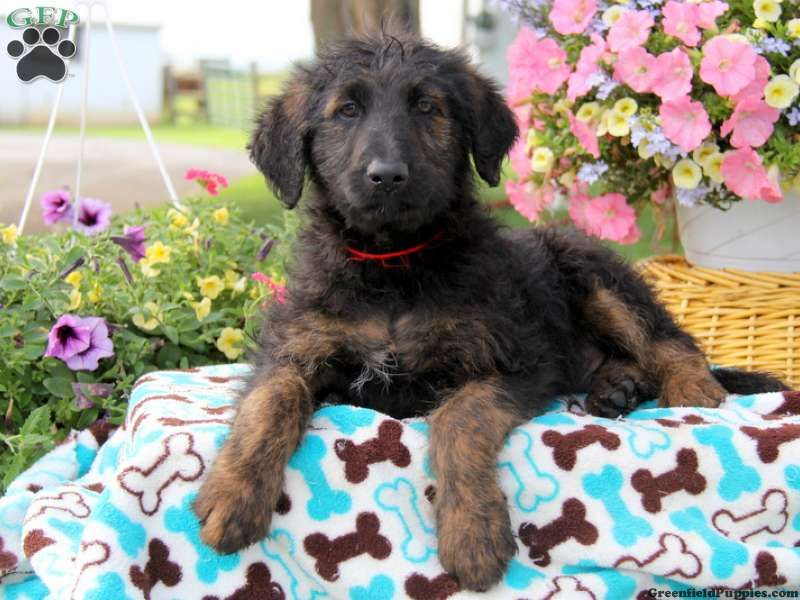 Boscoe Shepadoodle Puppy For Sale In Pennsylvania Puppies