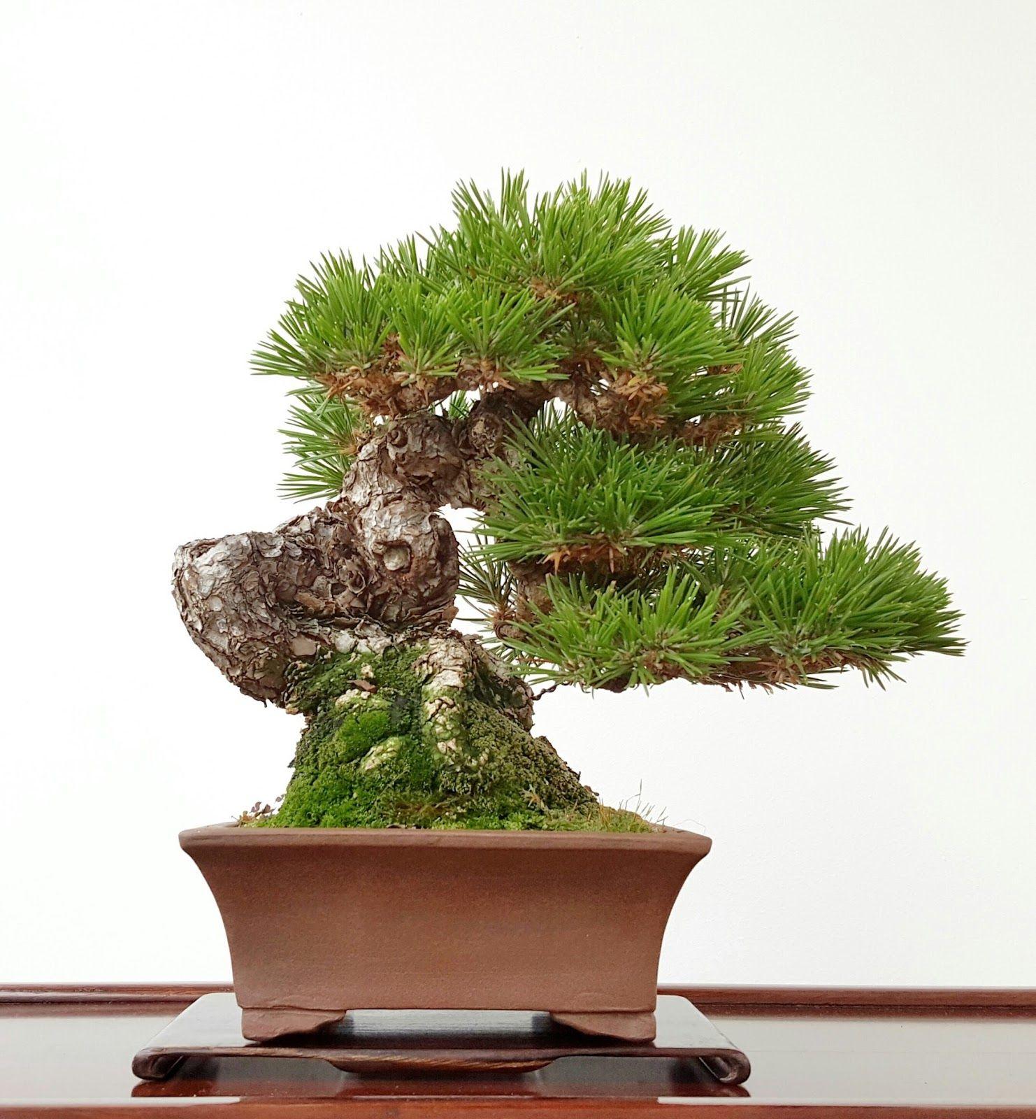 Blog bonsai bonsai center sopelana tienda de bonsais for Bonsai hydrokultur