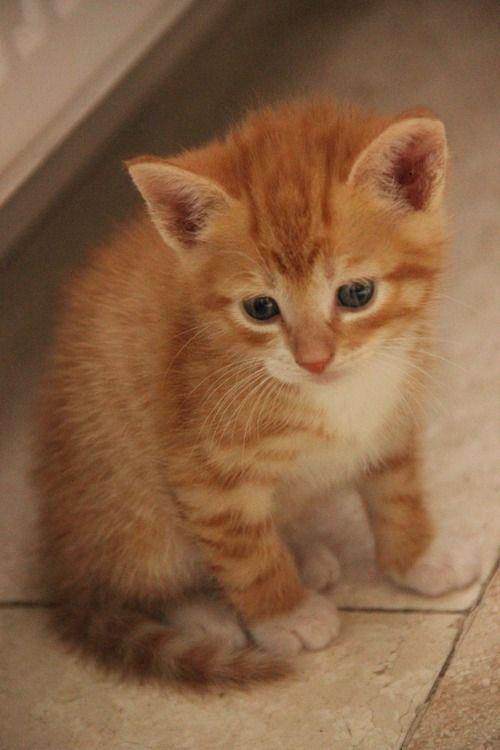Going To Steal It Kittens Cutest Tabby Kitten Orange Pretty Cats