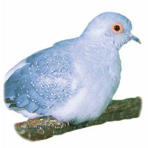 Diamond Dove Bird Live Pet Petsmart Sounds Perfect Pet
