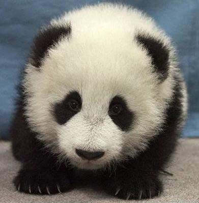 can't have a cute board without a baby panda.