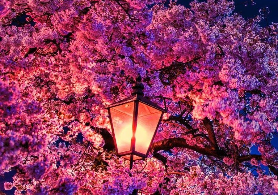 They Can Also Reach More Remote Garden Corners On Dry Ground 24 Feb 2020 Explo Cherry Blossom Wallpaper Iphone Cherry Blossom Wallpaper Cherry Blossom Drawing Cherry blossom night anime wallpaper