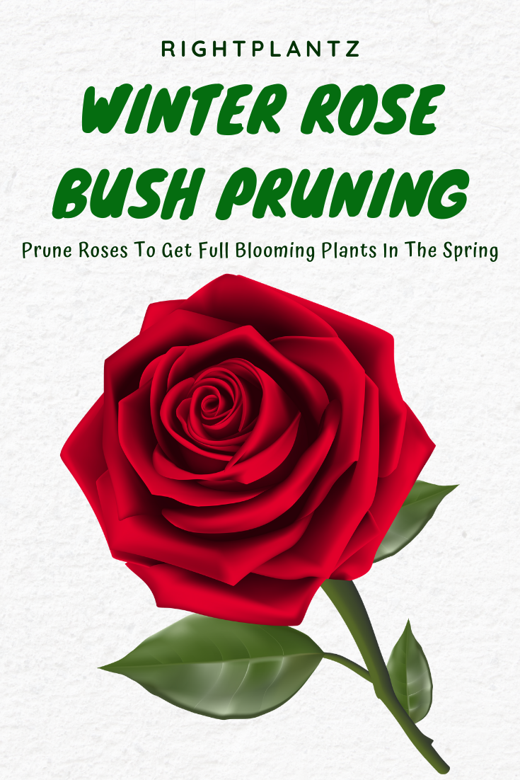 Winter Rose Bush Pruning I Rightplantz Com Winter Rose Rose Bush Rose Cuttings