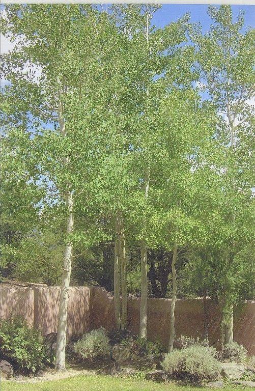 Silver birch outdoor spaces pinterest gardens for Silver birch trees for small gardens