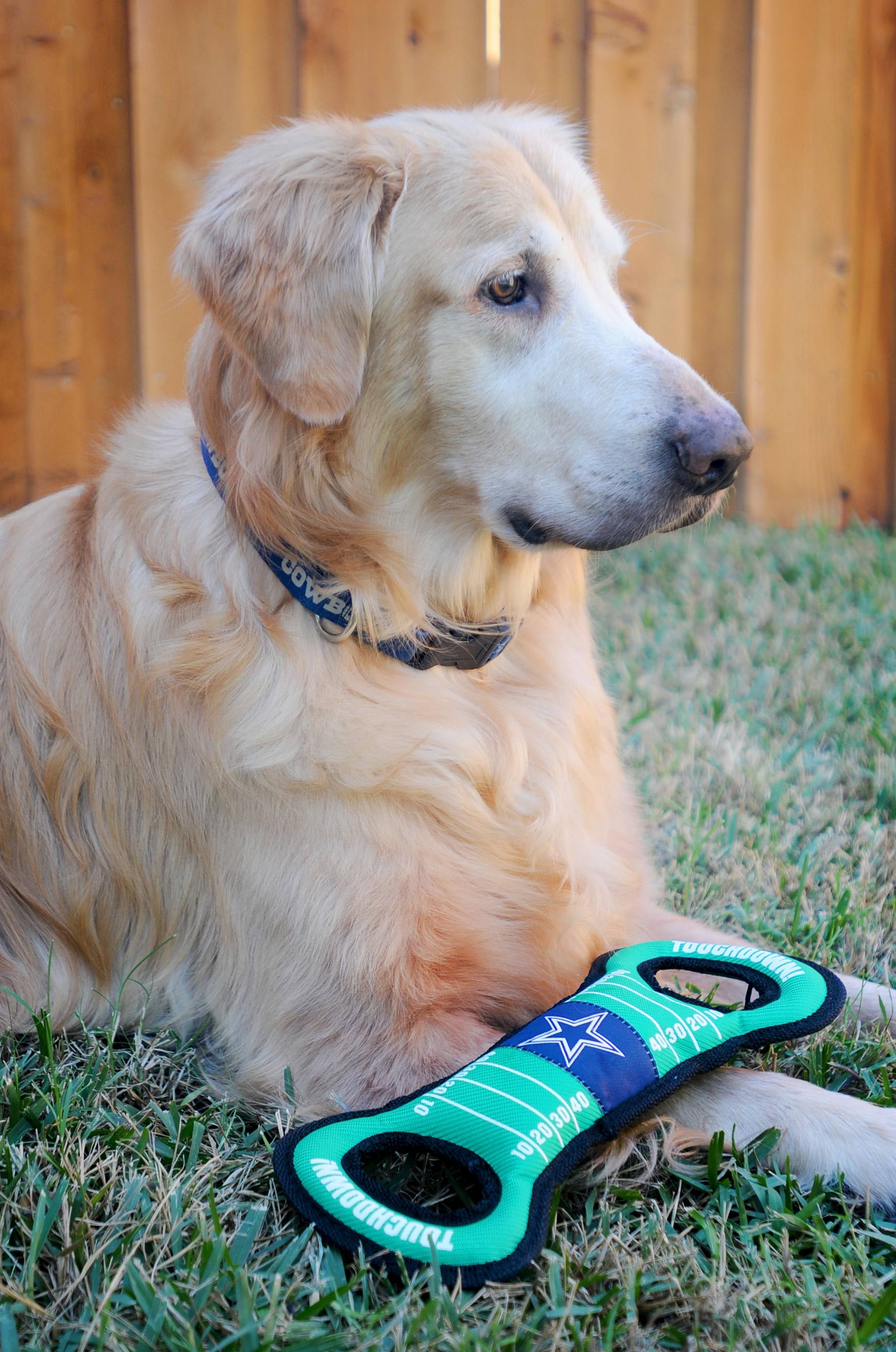 He loves his Dallas Cowboys toy! Golden retriever mom