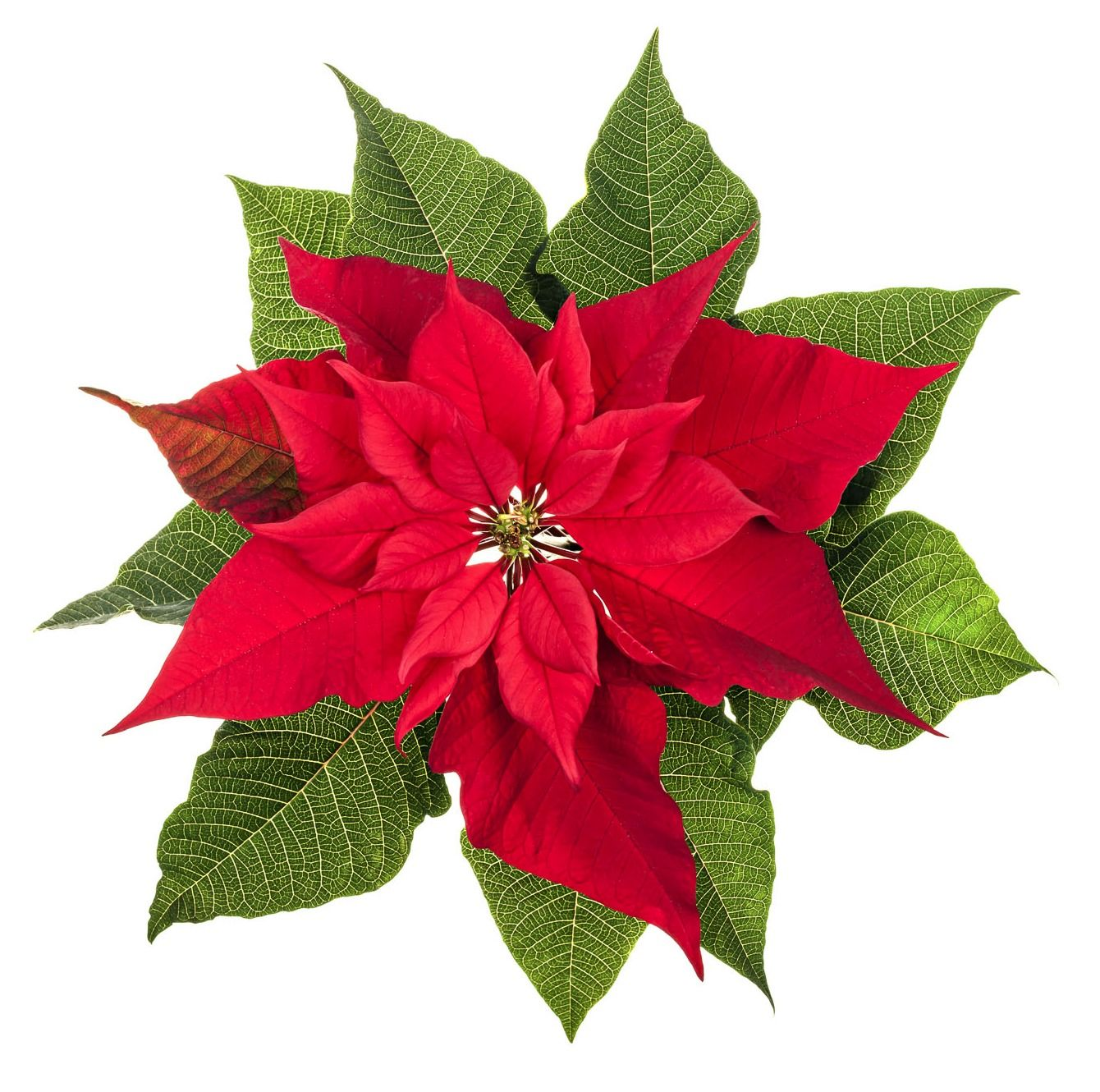 Wedding Flowers Poinsettia Birthday Month December Colors Red White Pink Maroon Salmon Season Decem Geburt Blumen Weihnachtsstern Blumentapete