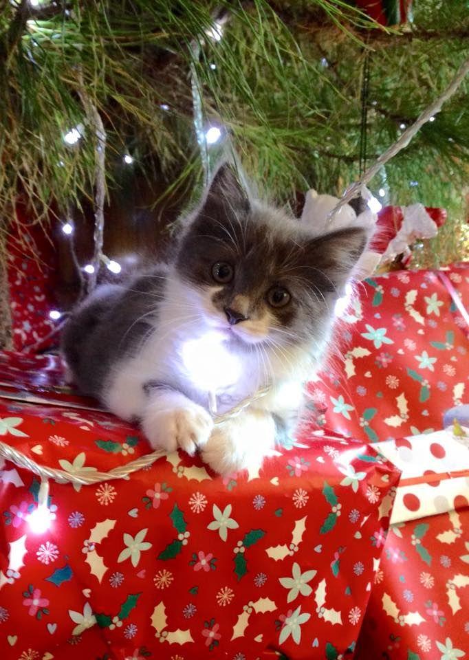 """cat-overload: """" Kitty enjoyed Christmas! """""""