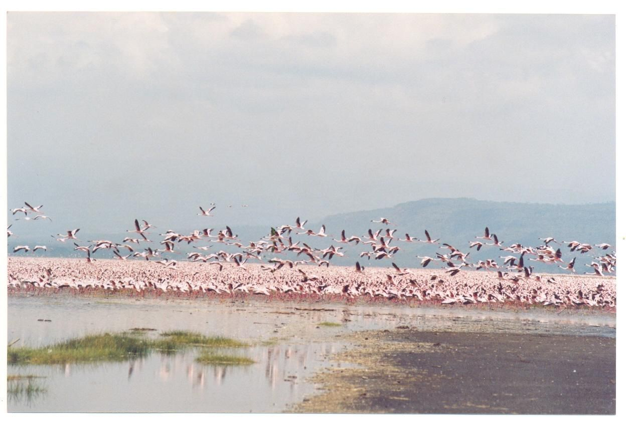 Flamingos, Tanzania