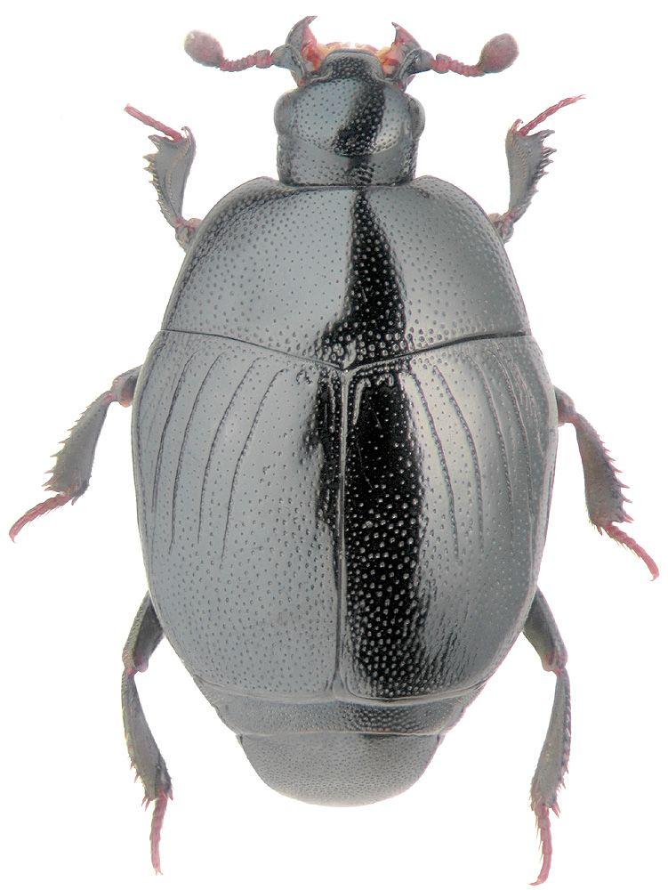 Gnathonchus nannetensis