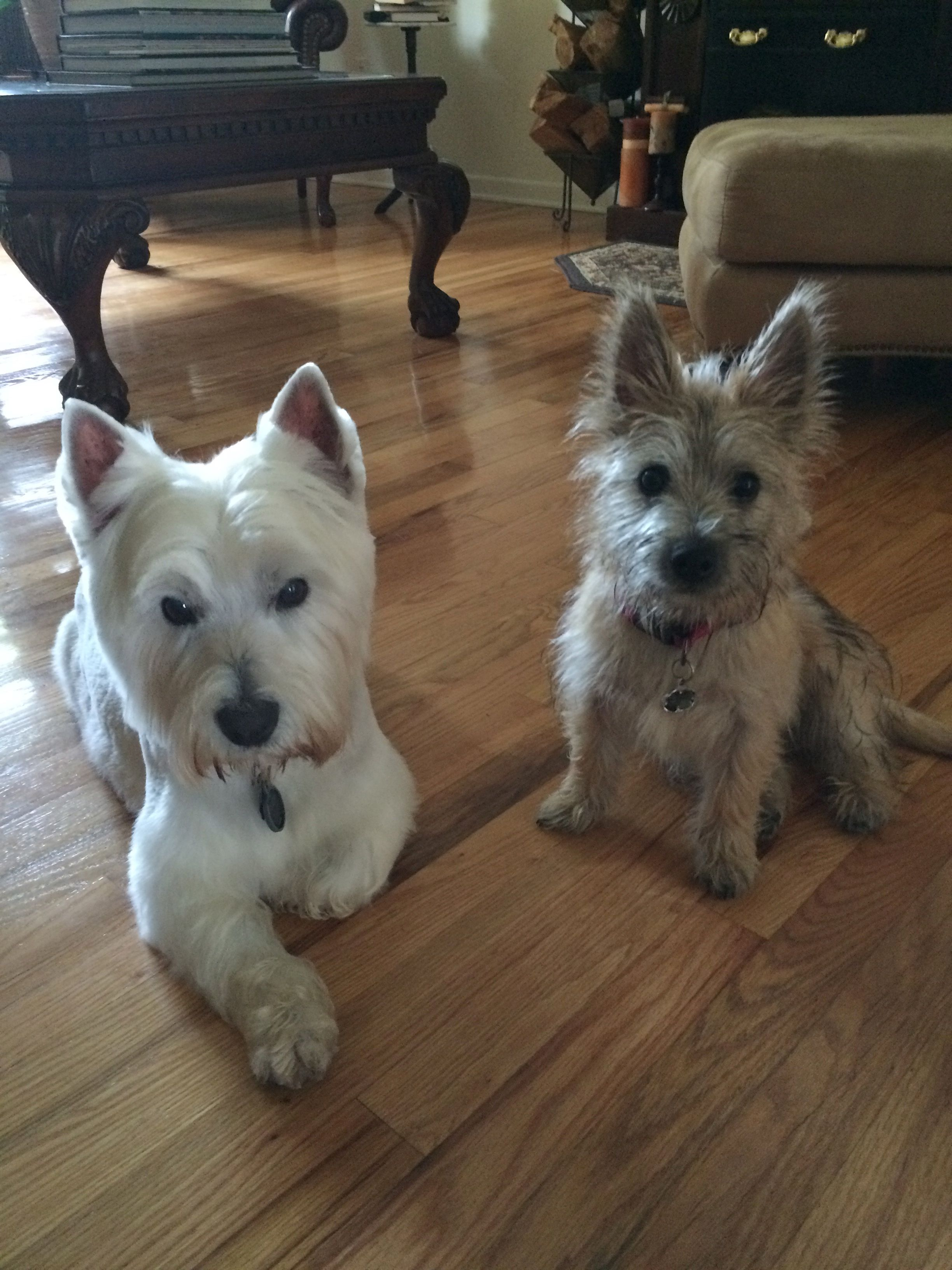 Rudy With His Sister Suki Cairn Terrier Puppies Terrier
