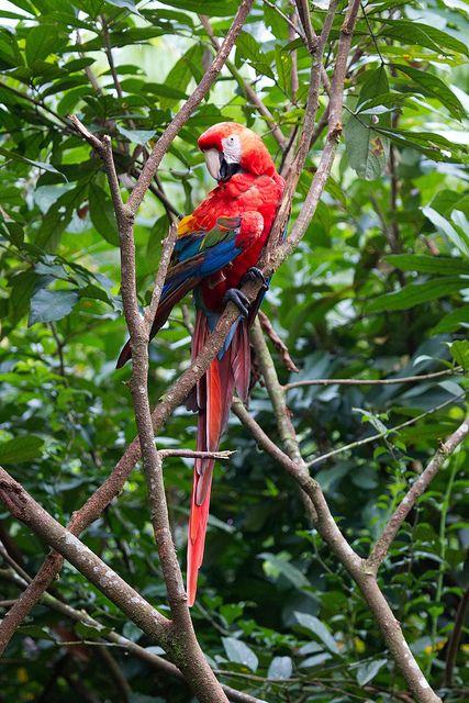 Ecuador Proud Parrot | Flickr - Photo Sharing!