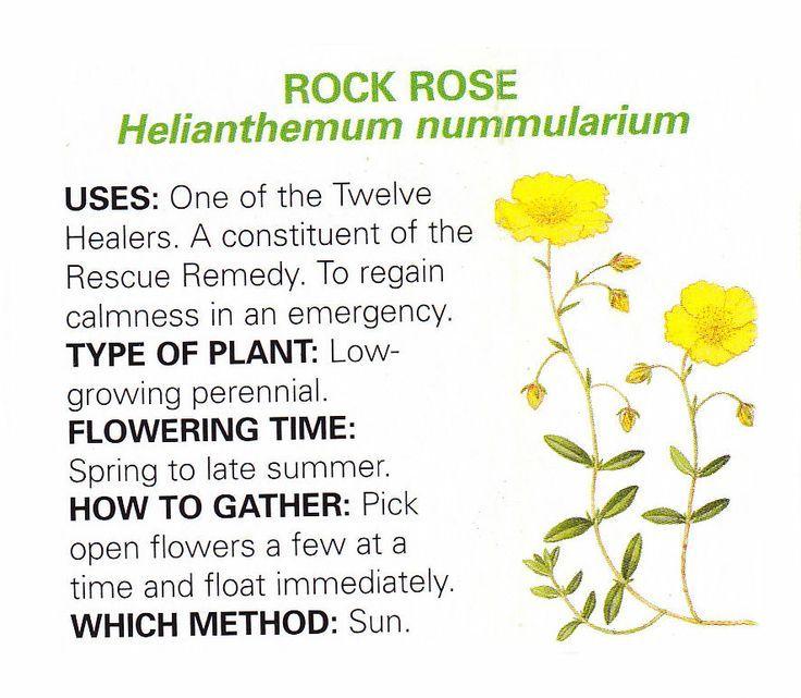 Rock Rose Medical Herbs Herbal Healing Herbs