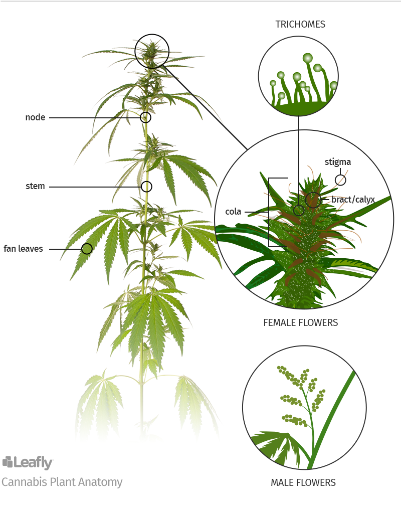 Anatomy of Marijuana Plants: The Different Parts | Cannabis, Reefer ...