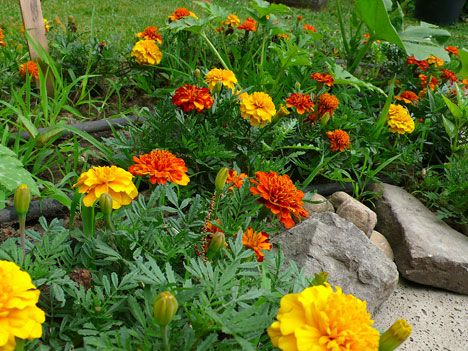 Plant Marigolds In Garden To Keep Bugs Away