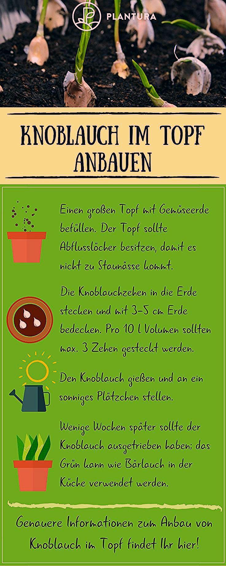 Knoblauch im Topf anbauen: Video & Anleitung - Plantura