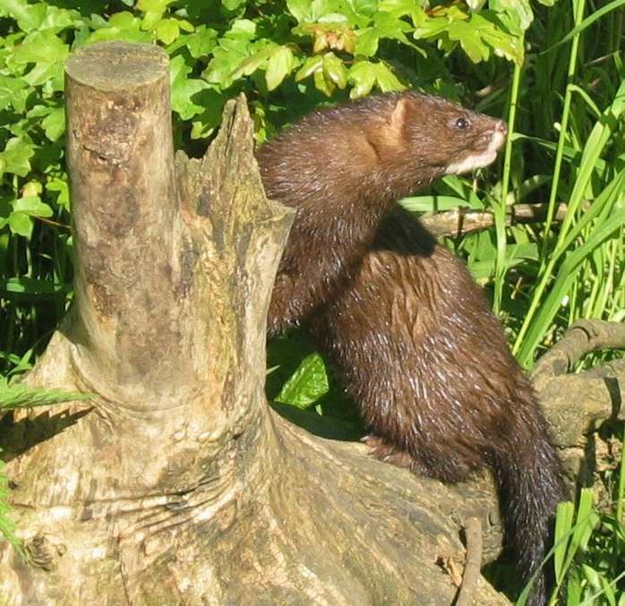 The European mink (Mustela lutreola), also known as the Russian mink, is a semiaquatic species of mustelid native to Europe.