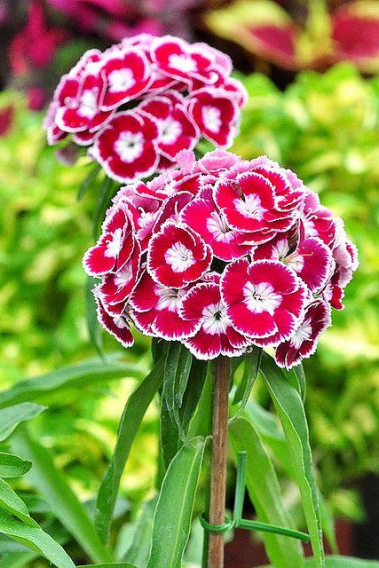 美女石竹 Dianthus Barbatus ビジョナデシコ05 Cicek Guzel Cicekler Bitki