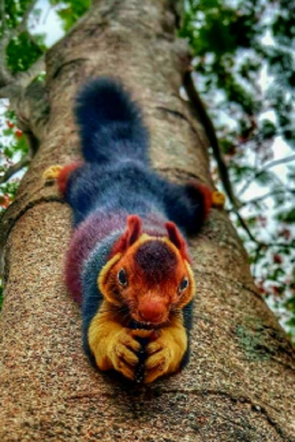 There Are Multi Colored Giant Squirrels Living In India Unusual Animals Indian Squirrel Giant Squirrel