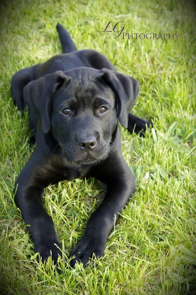 My handsome baby boy. Great Dane/Lab mix | Dogs ...