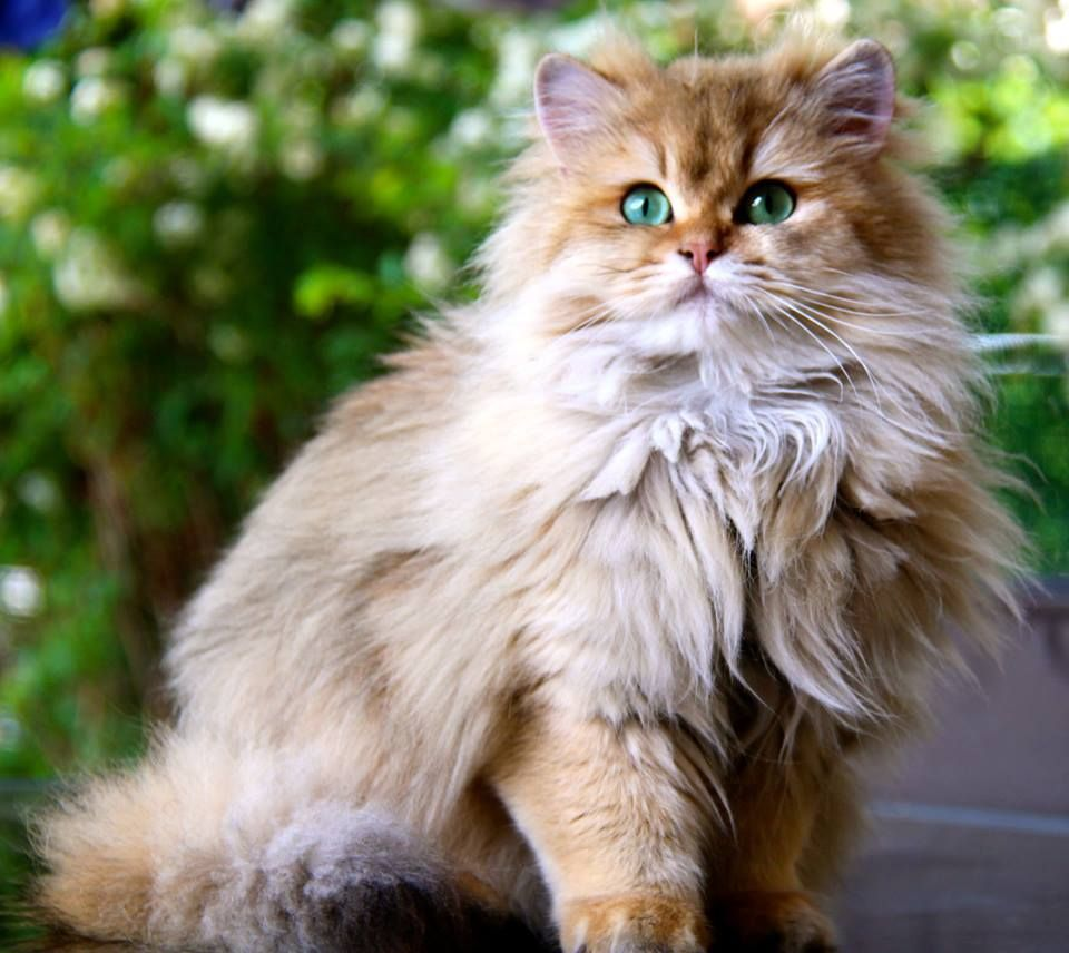 British Longhair Black Golden Ticked Cat Chat Britishlonghair Animal Cattery Elevage Chatterie Bree Cute Cats And Dogs Pretty Cats Cats And Kittens