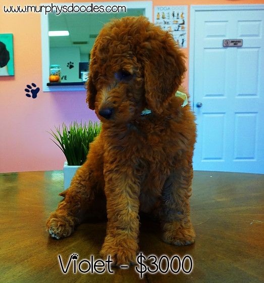 Violet F1b Dark Red Medium Sized Goldendoodle Shipping And