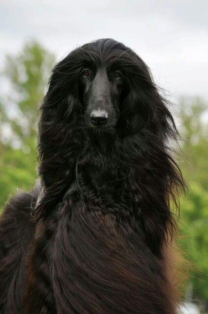 Stunning Black Afghan Afghan Hound