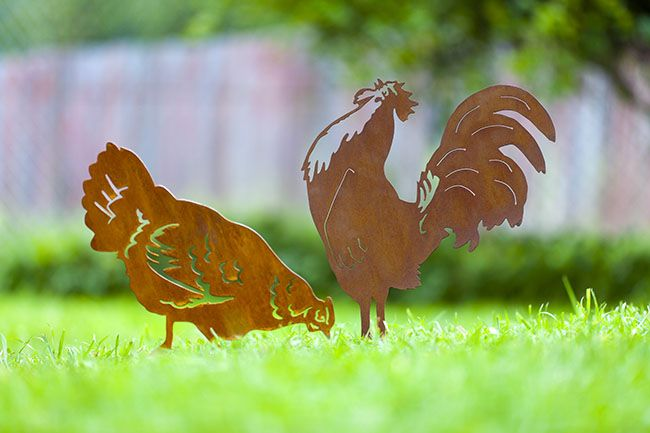 how to make a rooster stop crowing