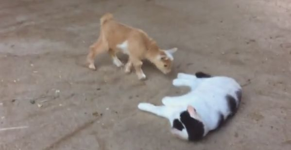 Cat Not Impressed by Baby Goats --- OMG baby goats and a kitteh, I'm dying from the cuuuute.
