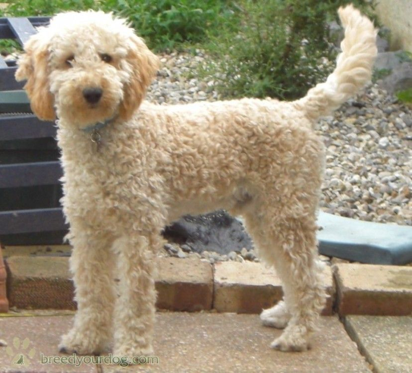 Stud Dog - Apricot Miniature Poodle - Breed Your Dog ...