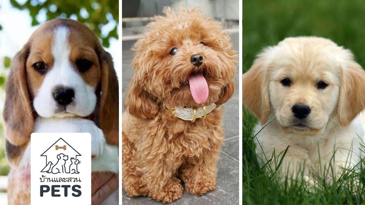 5 สายพ นธ ส น ขท เป นม ตรก บเด ก Suitable Dogs For Family Young Children My Home โกลเด น ร ทร ฟเวอร ชเนาเซอร บ เก ล