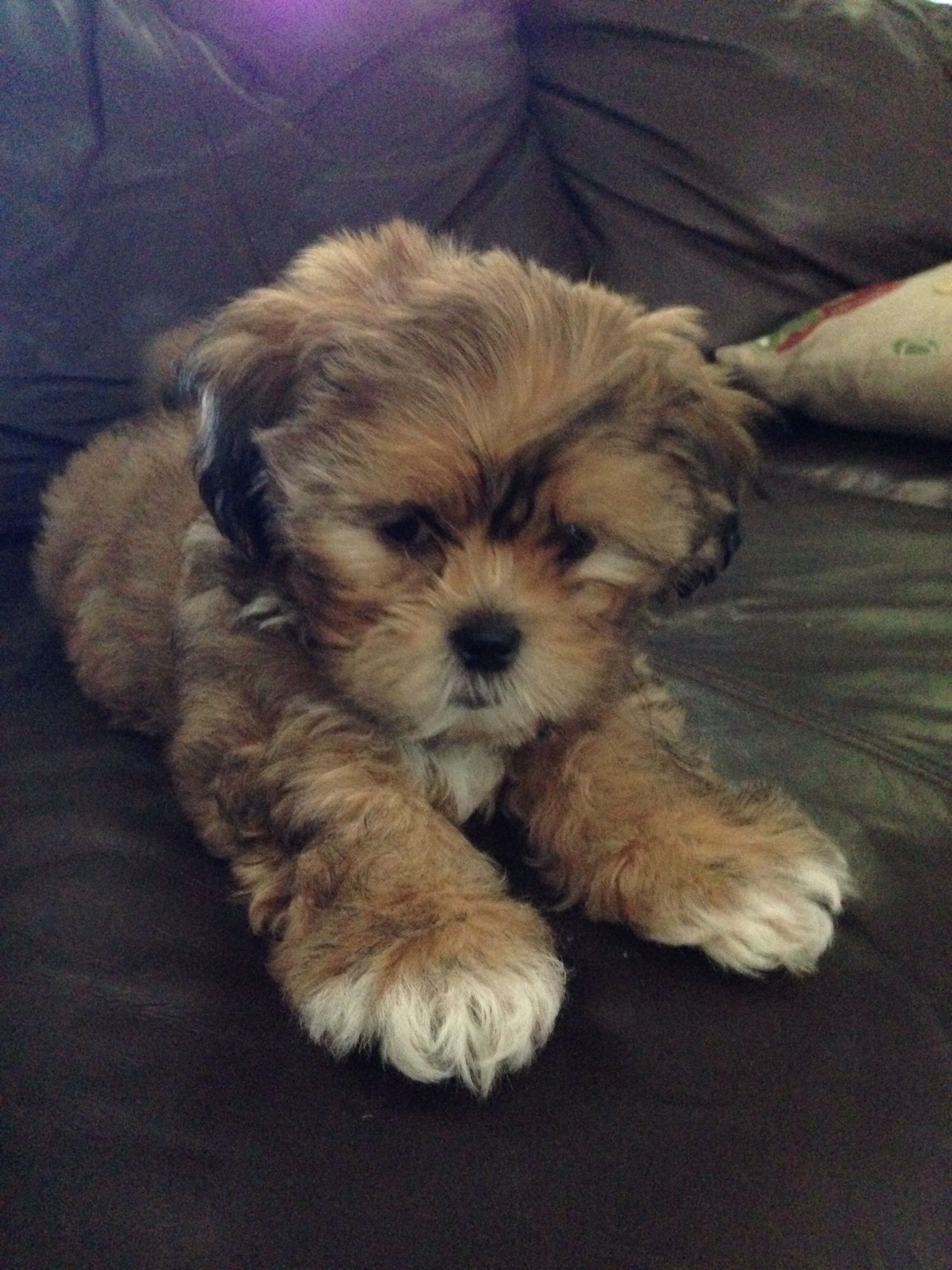 Bichon Shih Tzu Mix With Images Dog Grooming Styles
