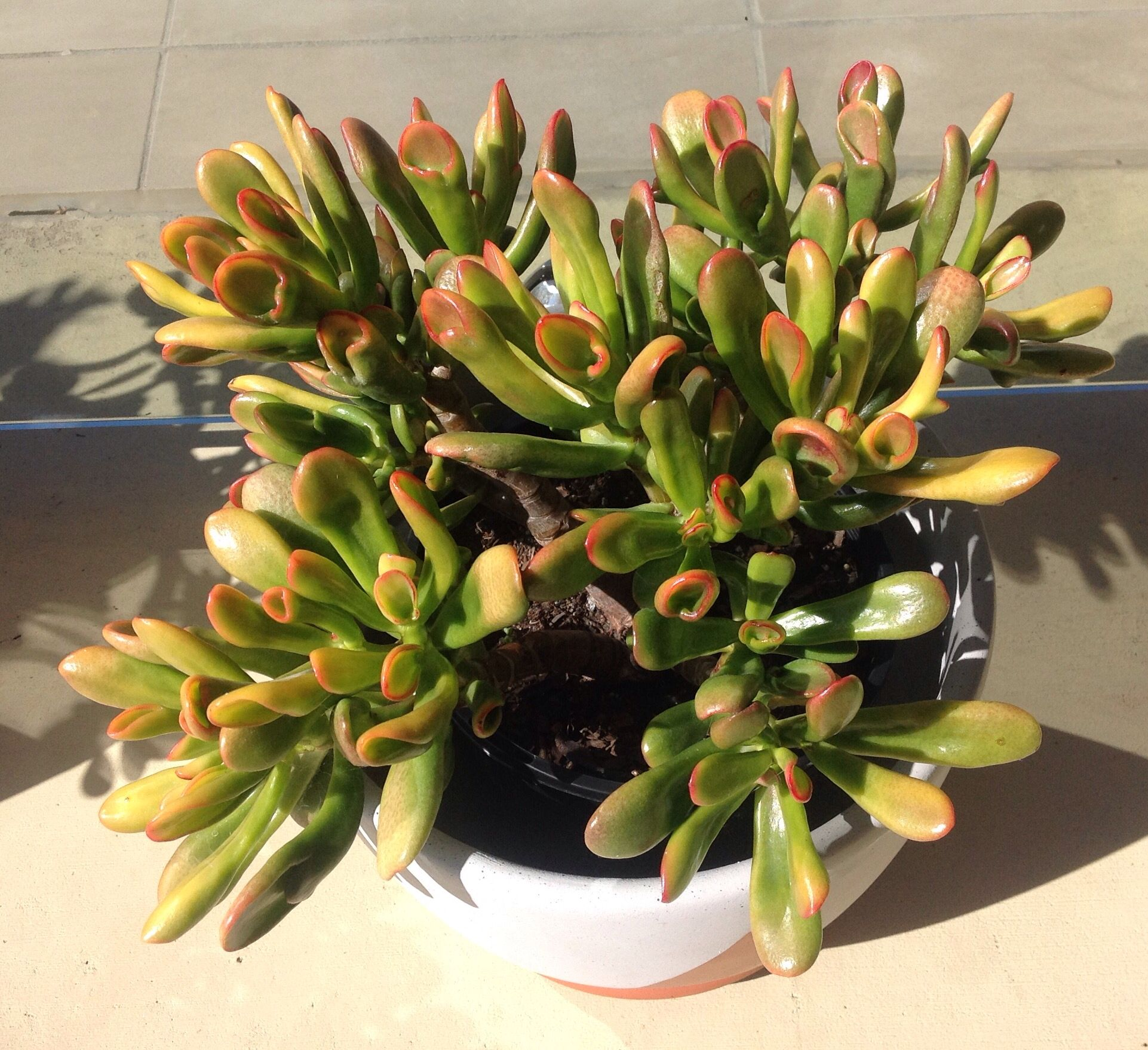 Crassula ovata hobbit or crassula ovata gollum sunset - Piante portafortuna ...