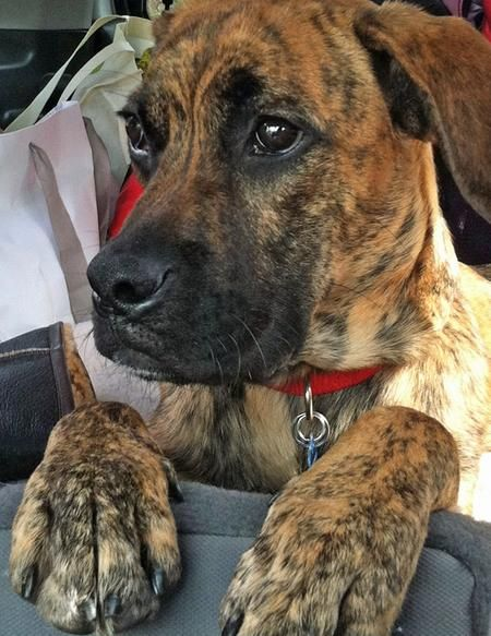 Brindle Boxer Lab Mix He S So Cute Boxer Lab Mixes