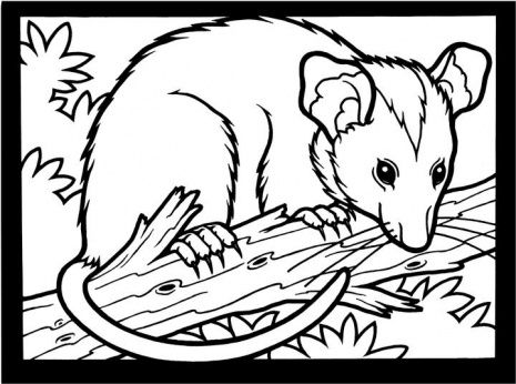 opposum+coloring+page | Opossum coloring page | Animal ...