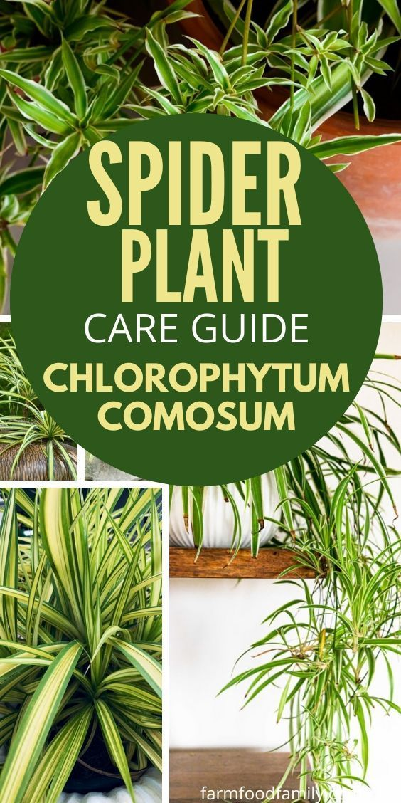 All About Spider Plants: Care, Feeding, and Growing Tips - FarmFoodFamily -   14 planting Indoor photography ideas
