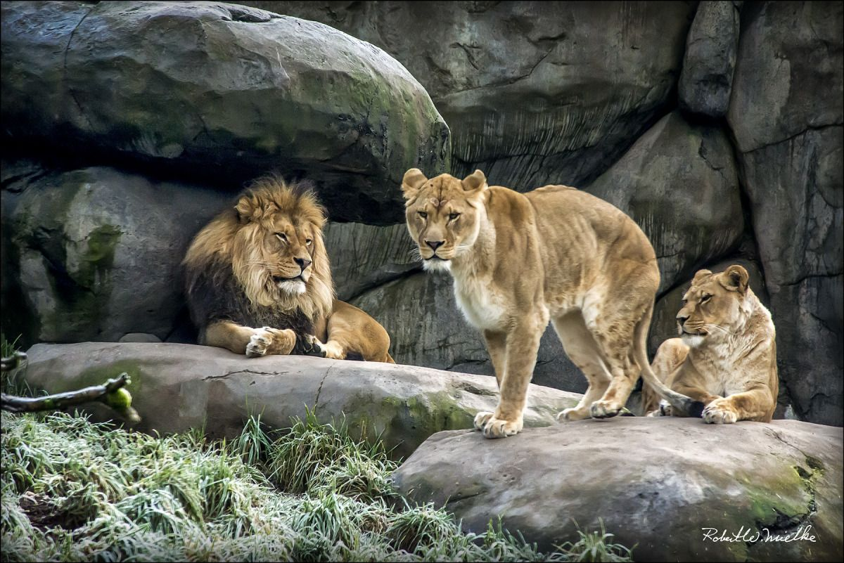 The Lions: Look so real you feel as though you can reach right into the picture and pet them!