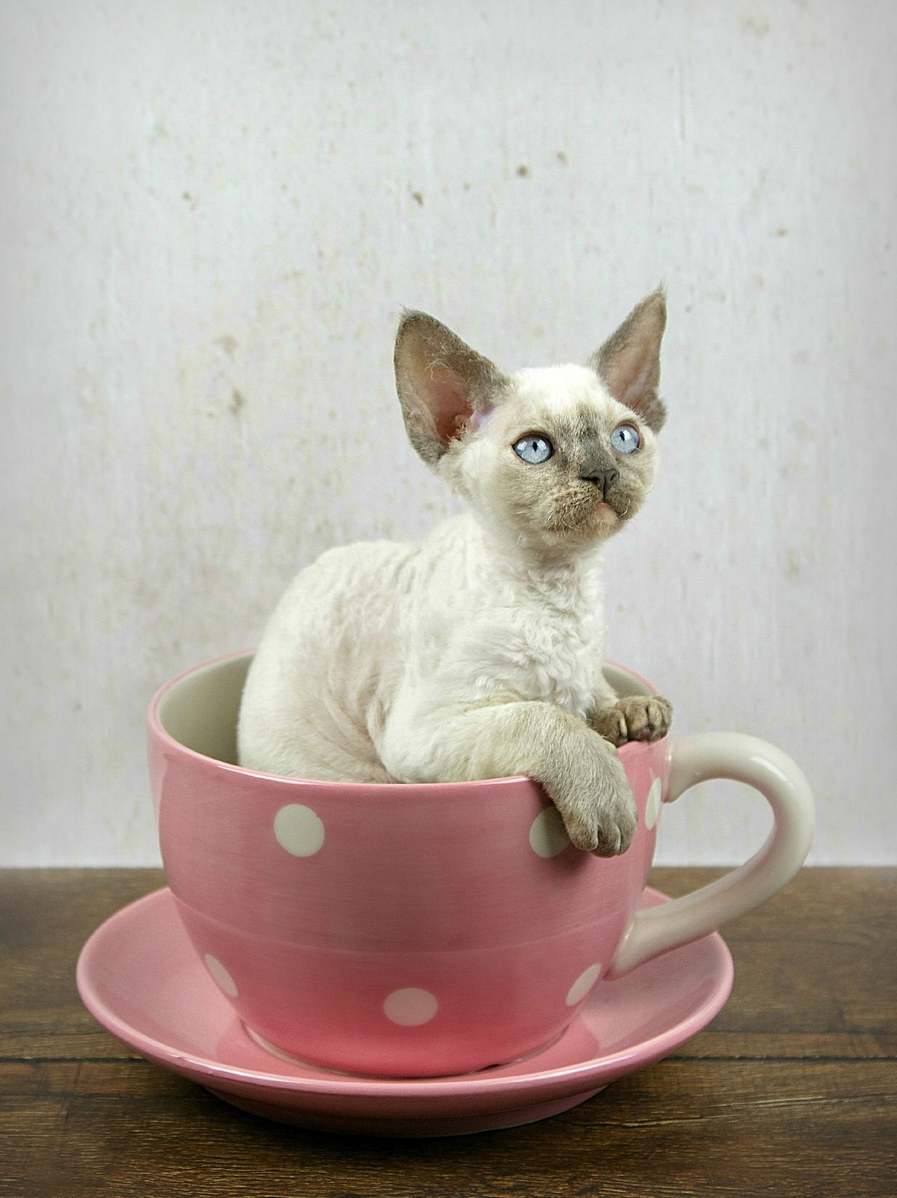 devon rex Tumblr Devon rex kittens, Devon rex, Rex cat