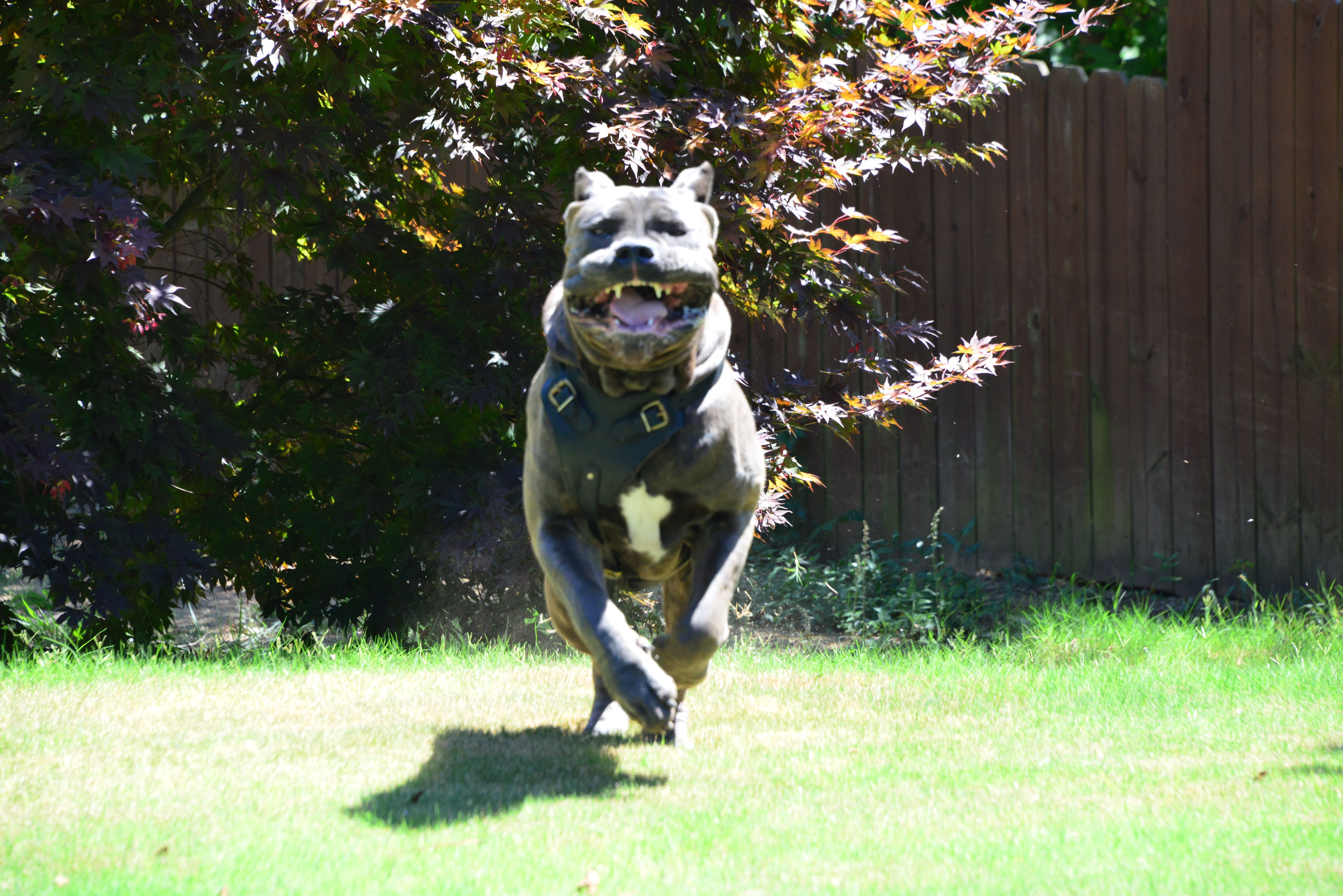 Pin By Hierarchy Cane Corso Kennel On Hierarchy Cane Corso Cane Corso Animals Dogs
