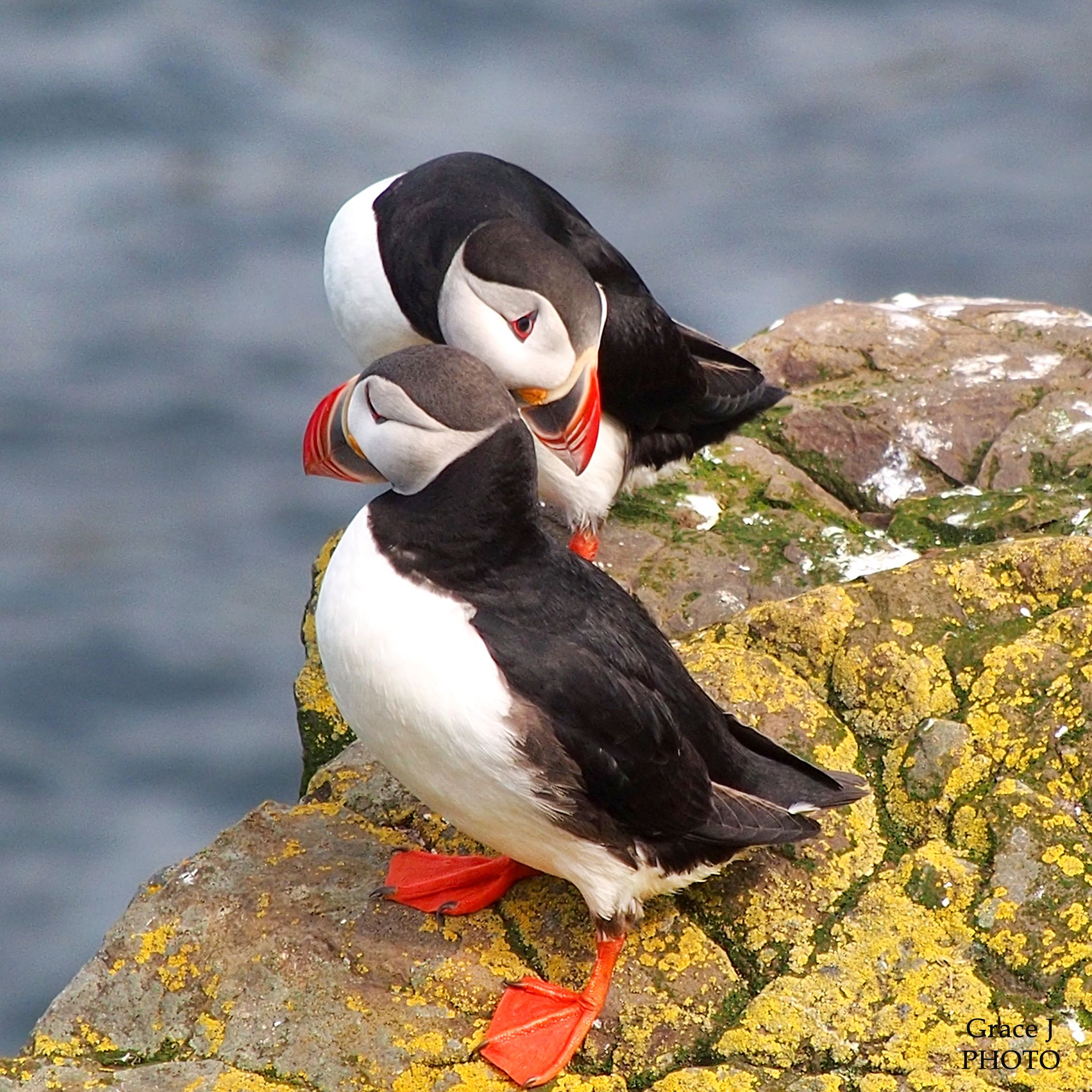 PUFFIN FACT #4.	Puffin pairs lay one egg per season and take turns incubating it.  After 6 weeks the chick  (referred to as a puffling) hatches and then it's another 6 weeks before the puffling fledges.