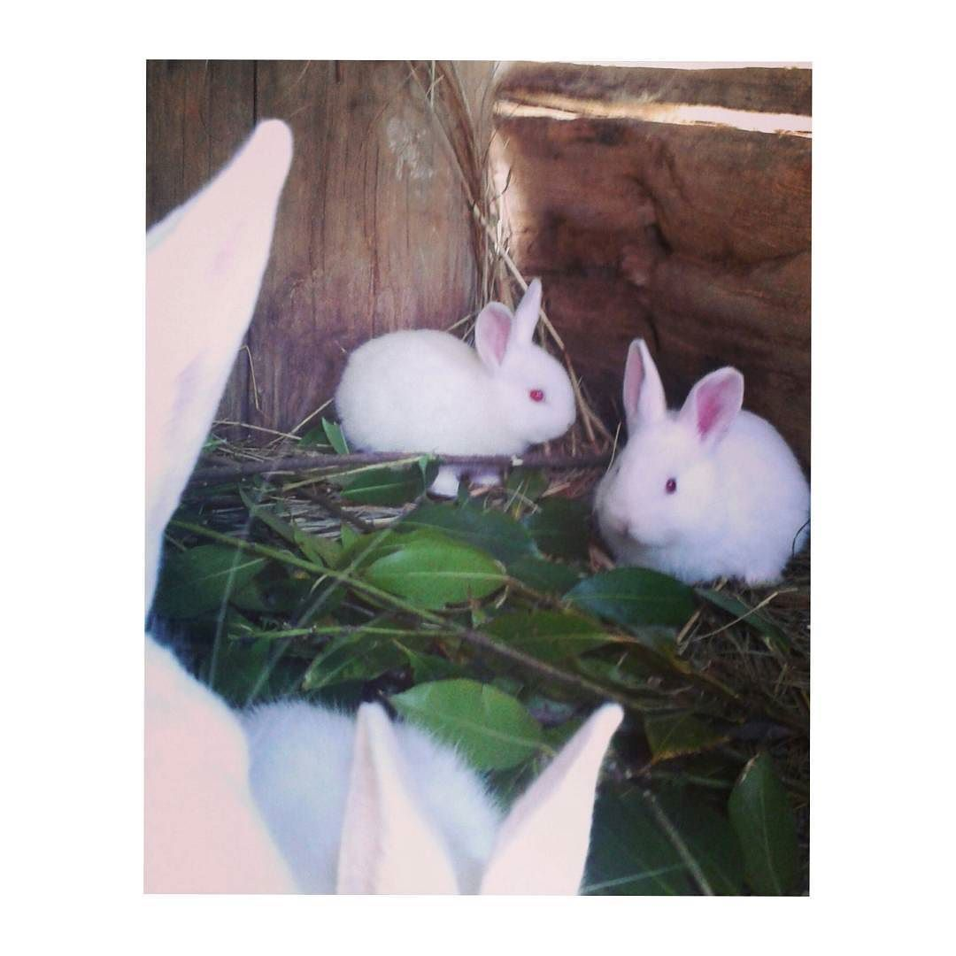 Look wt I've found @ my neighbour cottage #white#rabbits #habintheirfoods#lov'em# by xyspec