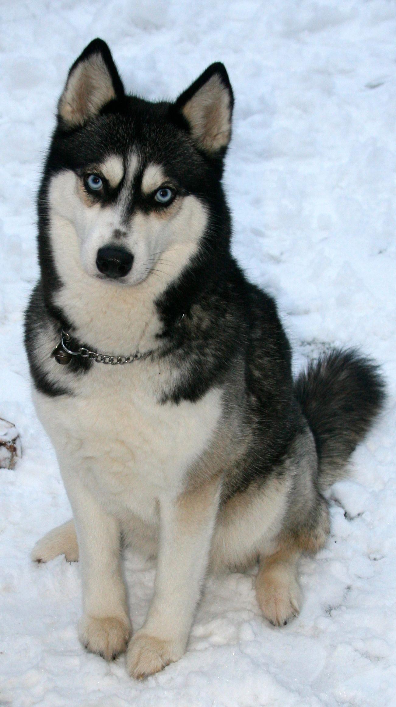 Discover Playful Siberian Huskies Personality