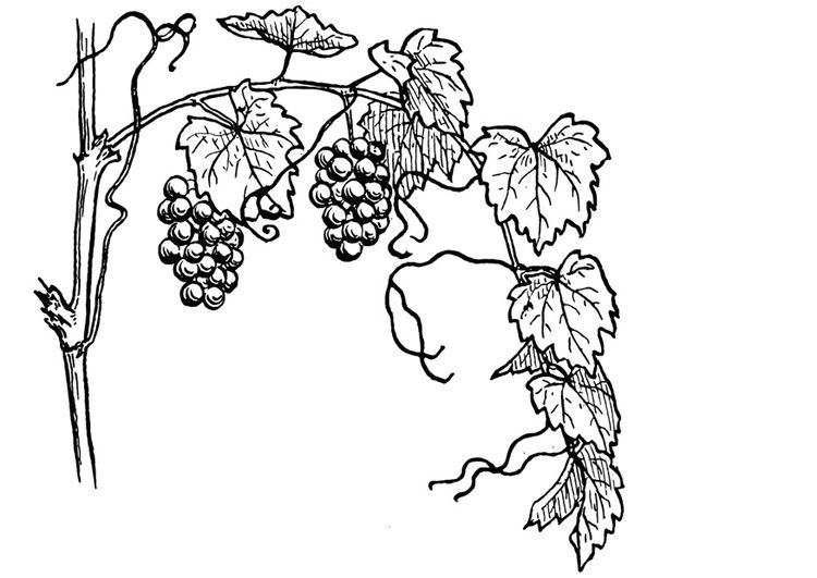 Coloring Page Grape Vine Coloring Picture Grape Vine Free