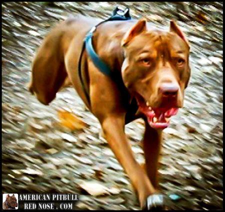 Running Pitbull Red Nose With Images Pitbulls Pitbull Dog American Pitbull Terrier
