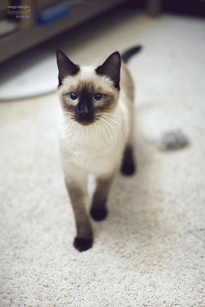 My Ming Toy Chang 1 Sweetest Chang 2 And My Next Chang Siamese Cats Siamese Siamese Kittens