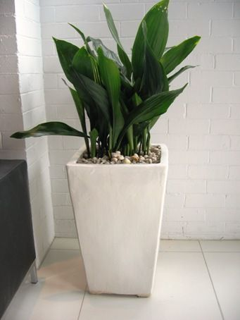 Aspidistra   Cast Iron Plant In White Planter Great Pictures