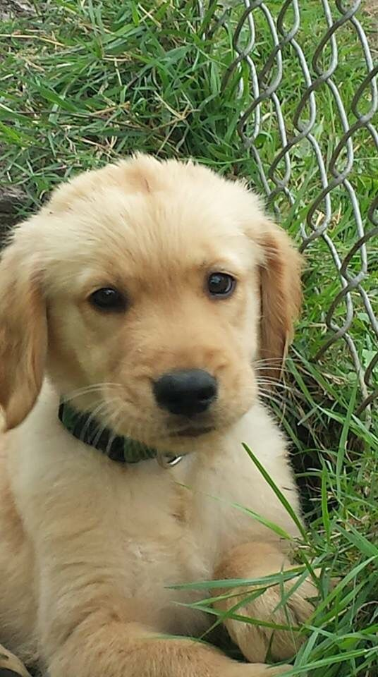 Baby Jack Dogs Golden Retriever Best Dogs For Families