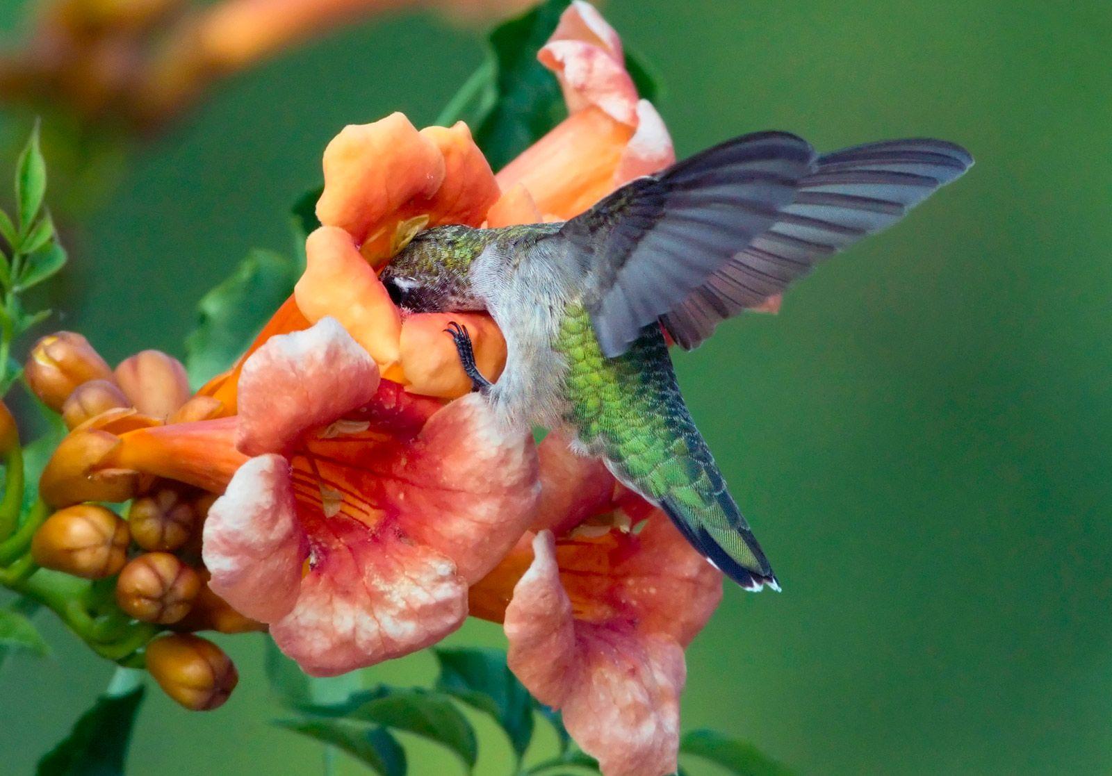 photo of Ruby throated hummingbird. Backyard birds, How
