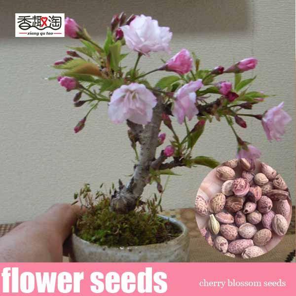 Sales Promotion Rare Japanese Sakura Seeds Cherry Blossom Seeds Bonsai Plants For Home Garden 10pcs Bonsai Plants Cherry Blossom Japanese Sakura