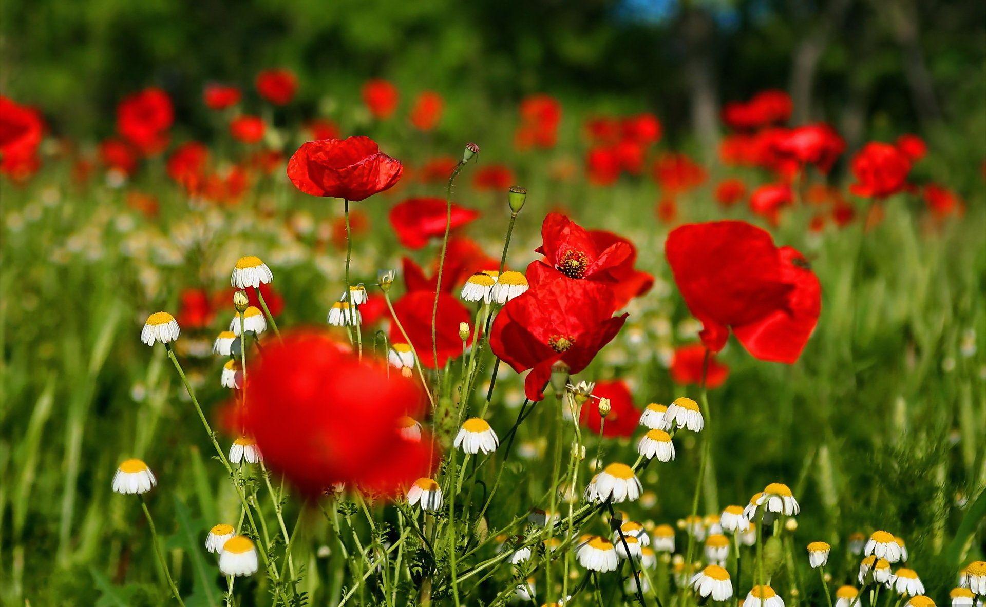 Flowers Field Desktop Background Wallpaper Free