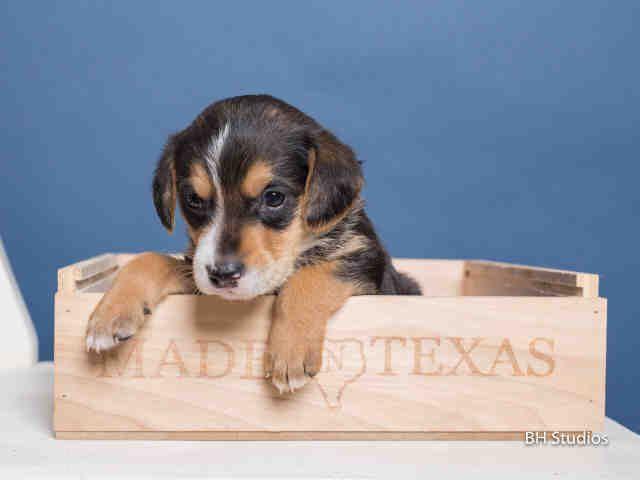 Daisy Houston Texas Petharbor Com Animal Shelter Adopt A